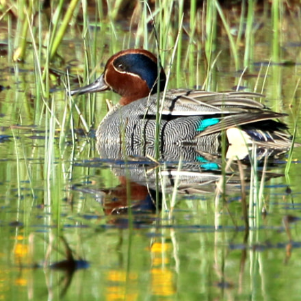 The teal male in, Canon EOS 700D, Canon EF 70-300mm f/4.5-5.6 DO IS USM