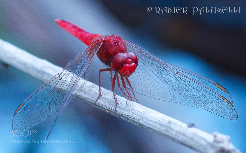 Photograph libellula rossa by ranieripaluselli on 500px