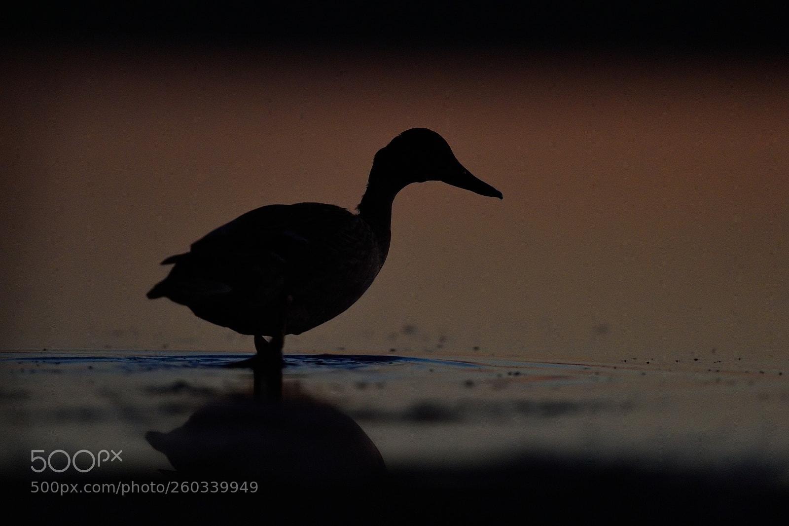 Mallard on the beach photography