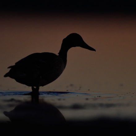 Mallard on the beach, Nikon D4S