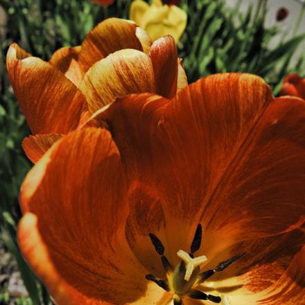 Tulip, Nikon COOLPIX P340
