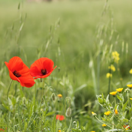 Poppies, Canon EOS 1100D, Canon EF-S 55-250mm f/4-5.6 IS II