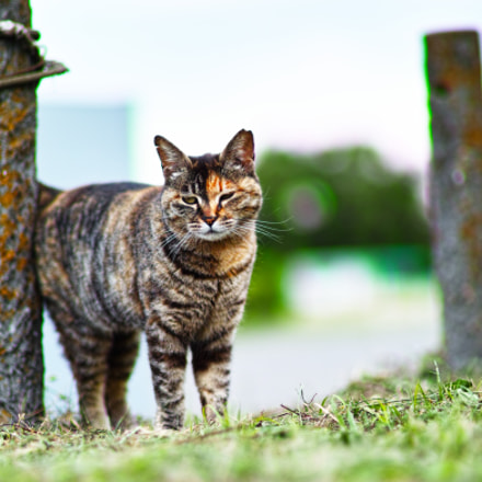Cat every day, Sigma SD1 MERRILL, Sigma 85mm F1.4 EX DG HSM