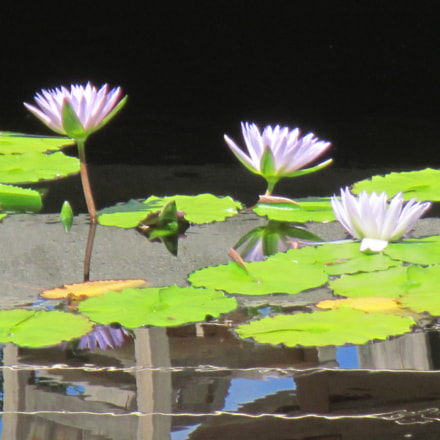 Water Lilies, Canon POWERSHOT D20