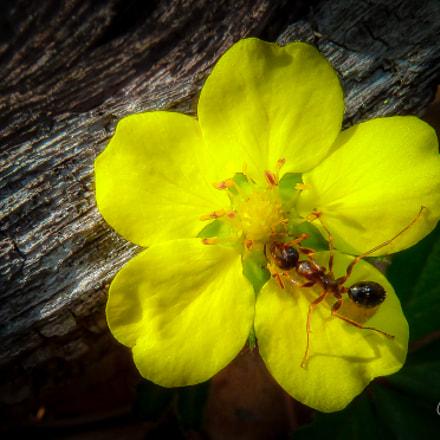Ant on Yellow Cinquefoil, Panasonic DMC-ZS7