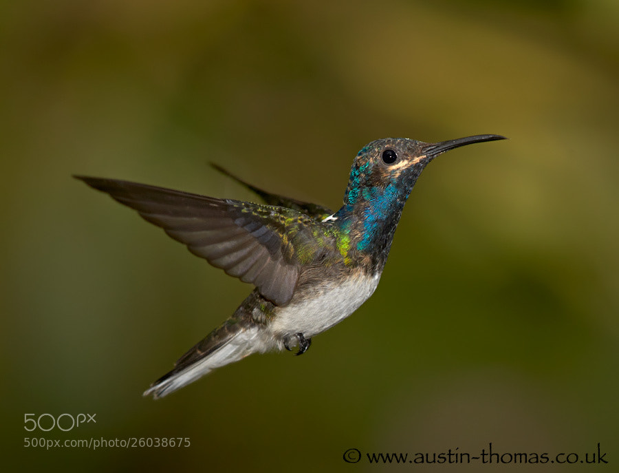 Photograph A Hummingbird in flight by Austin Thomas on 500px