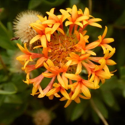 orange flower.jpg, Nikon COOLPIX AW130