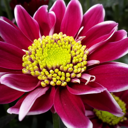 Chrysant, Samsung Galaxy S5 Mini