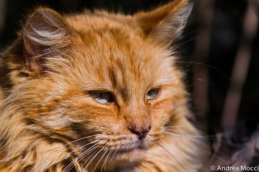 Cat by Andrea Mocci on 500px.com