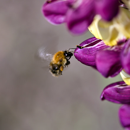 hovering bee, Canon EOS 77D, Canon EF 100mm f/2.8 Macro USM