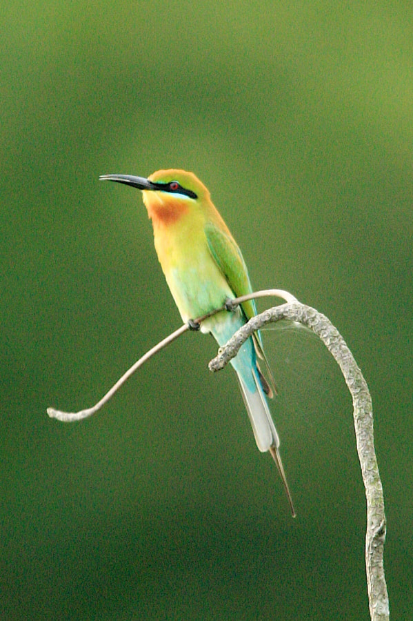 Beautiful Blue-Tailed Bee-Eater