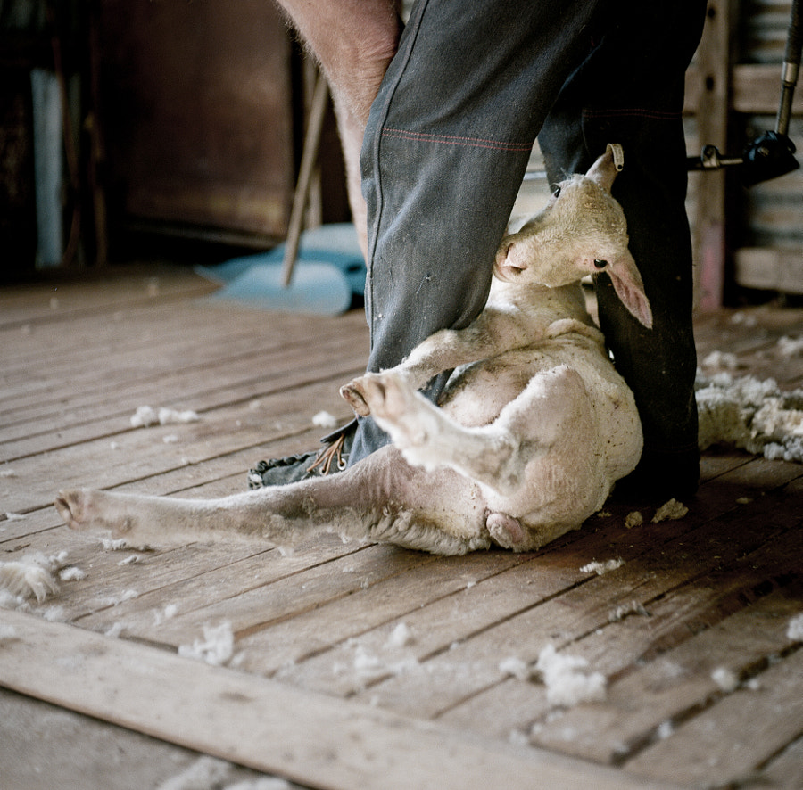 Shearing Time by Ben Robson on 500px.com