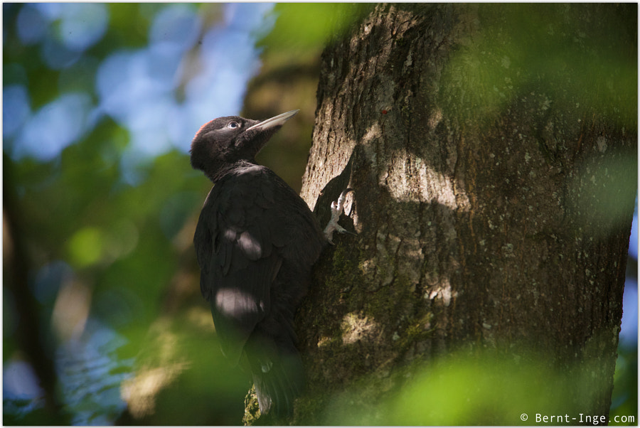 Black woodpecker / Svartspett by Bernt-Inge Madsen on 500px.com
