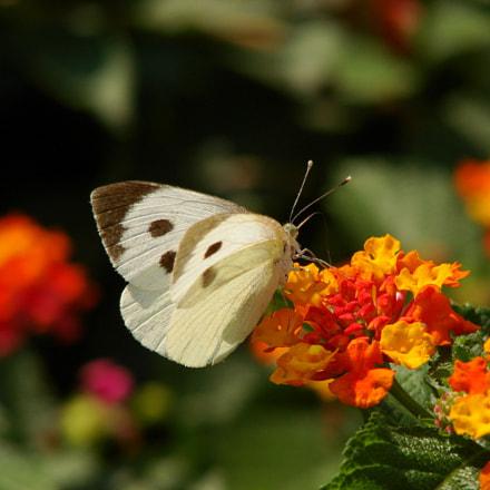 The Summer Butterfly, Sony DSC-H5