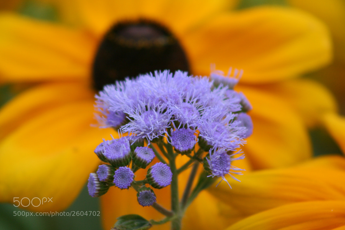Photograph Black Eyed Susan by Dario Zingone on 500px