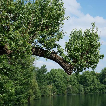 duck at tree, Sony ILCE-6000, Sony E 35mm F1.8 OSS