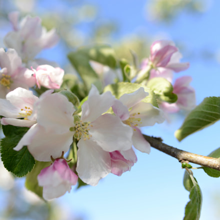 Apple blossom, Nikon D800