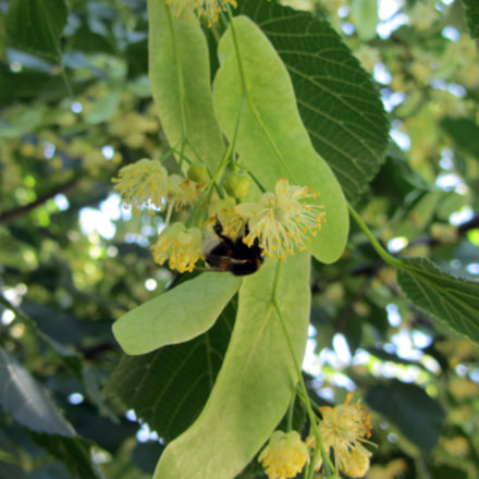 bumblebee on linden blossoms, Canon POWERSHOT SX220 HS
