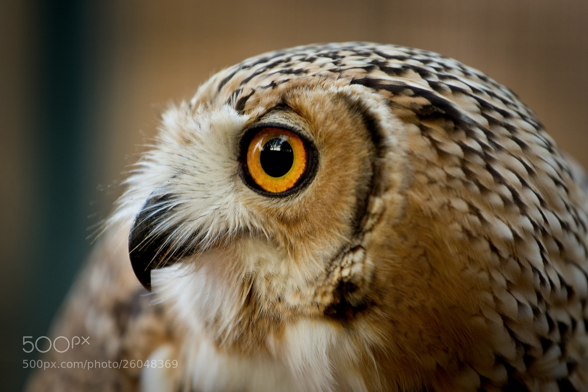 Photograph Yahoo - Arabian Owl by 5200 Kelvin on 500px