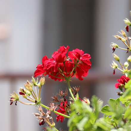 Neighbor's flower, Canon EOS 800D, Canon EF 300mm f/2.8L IS II USM
