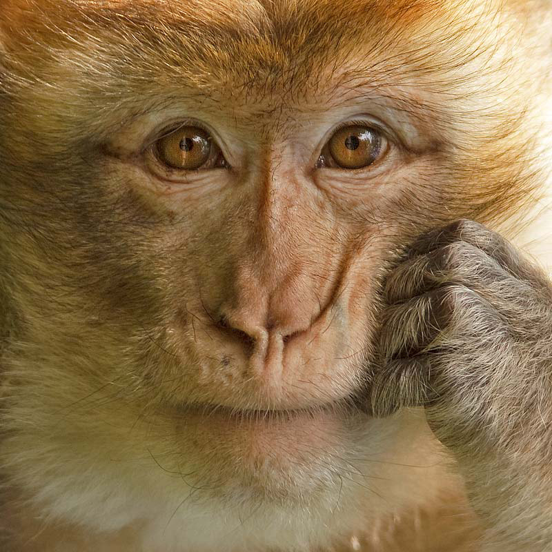 Photograph Berber Monkey by Jerry Bouwmeester on 500px