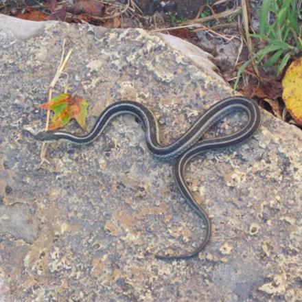 Garter Snake, Canon POWERSHOT D10