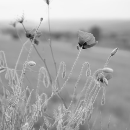 Poppies in the wind, Sony ILCE-6000, Sony E 35mm F1.8 OSS