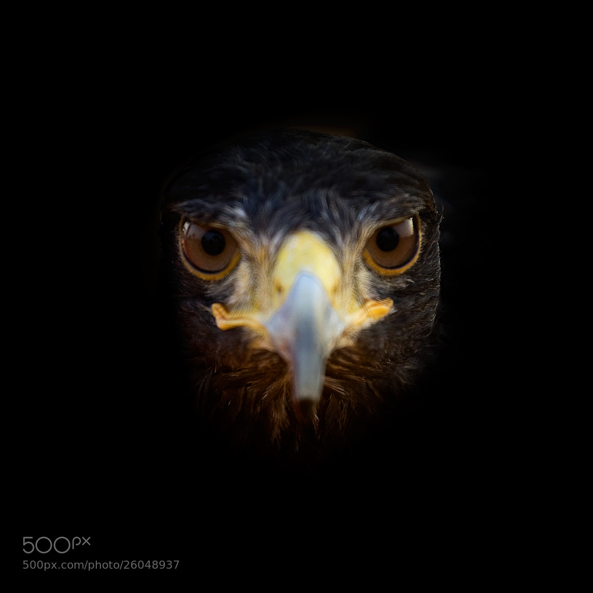 Photograph Saumah - Californian Hawk by 5200 Kelvin on 500px