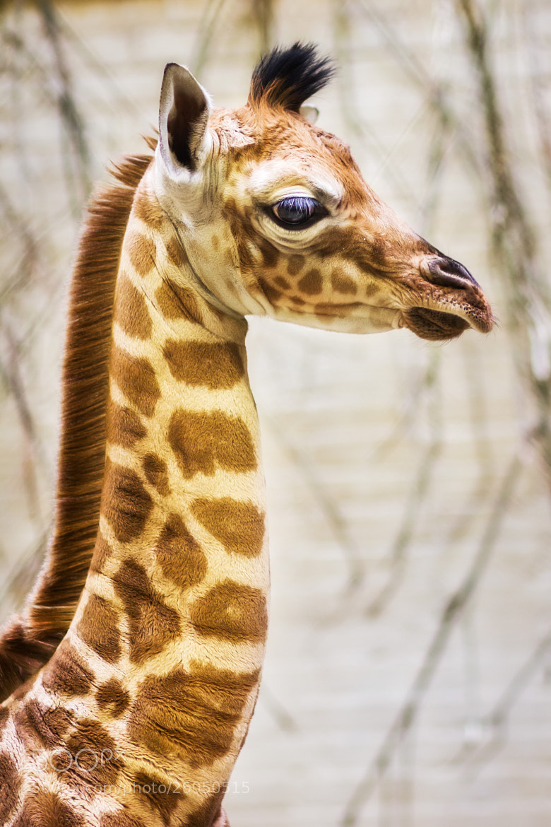Photograph Azizi, 6 day old giraffe by Alex de Groot on 500px