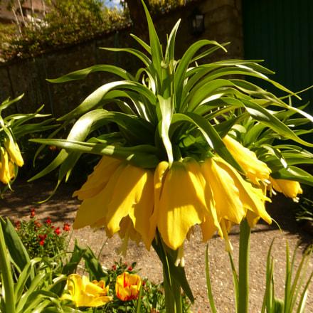Giverny yellow flower, Panasonic DMC-TZ36