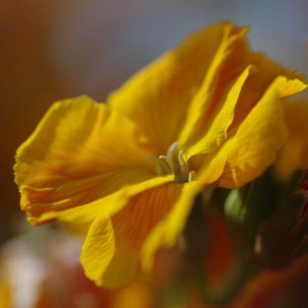 Yellow wallflower, RICOH PENTAX K-3 II, smc PENTAX-D FA Macro 100mm F2.8 WR