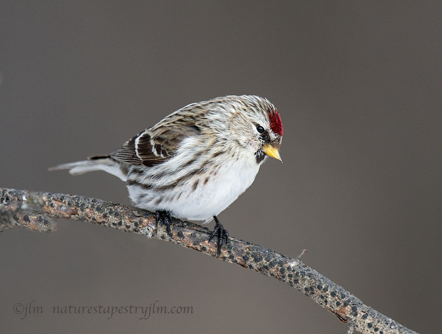 Photograph Tiny Beauty !!!    { common redpoll female } by Judylynn Malloch on 500px