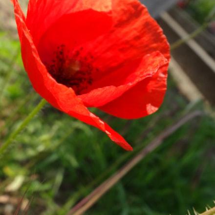 red poppy, Sony DSC-HX20V