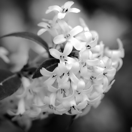 Black and white flowers, Sony SLT-A65V, Tamron SP AF 90mm F2.8 Di Macro