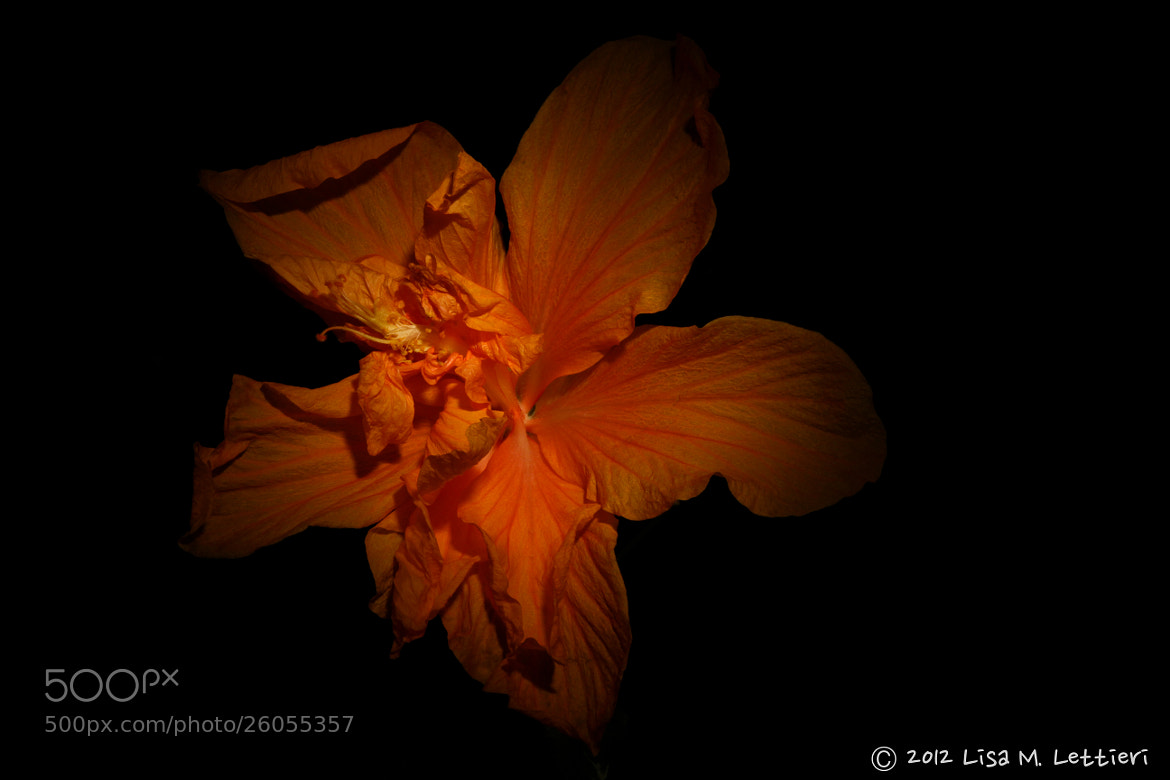 Photograph Hibiscus by Lisa Lettieri on 500px