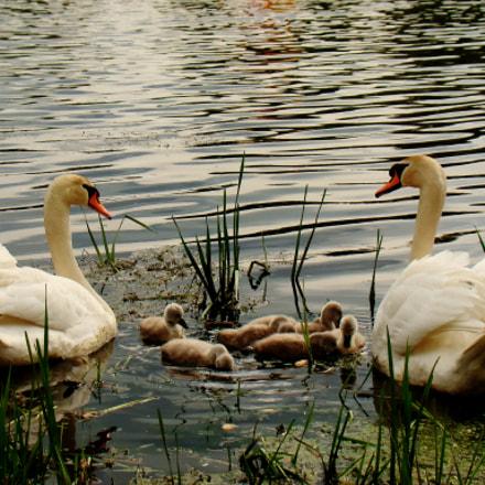 care - swan family, Sony DSC-H50
