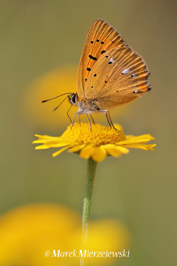 Photograph Scarce Copper, Lycaena virgaureae by Marek Mierzejewski www.butterfly-photos.org on 500px