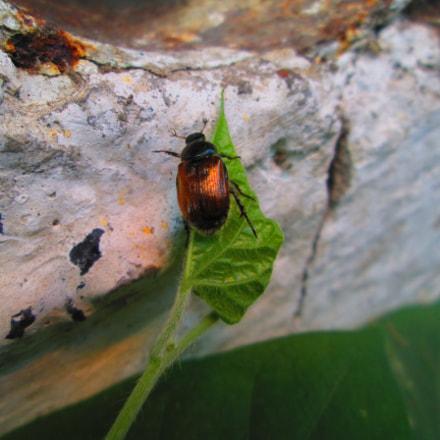 Beetle, Canon POWERSHOT A1300