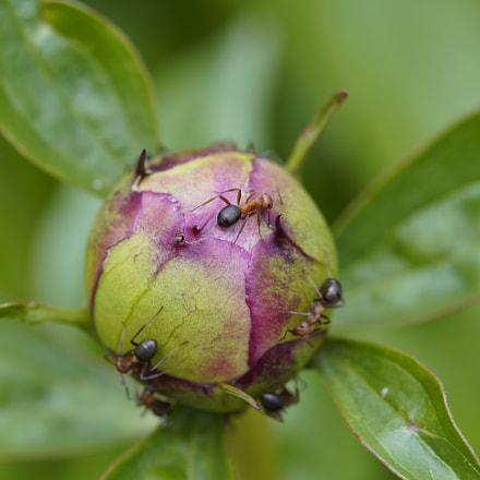 Ants on flower bud, Sony ILCE-7M3, Canon EF 100mm f/2.8L Macro IS USM
