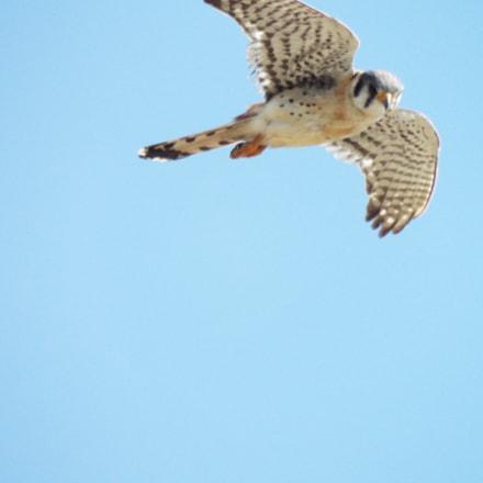 Hovering Hawk, Fujifilm FinePix S9900W S9950W