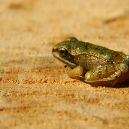 small frog, Nikon COOLPIX L120