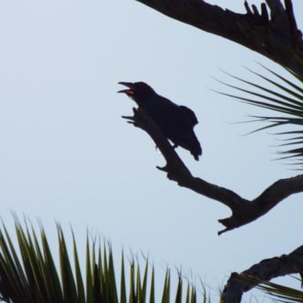 Upset Baby Crow, Fujifilm FinePix S9900W S9950W