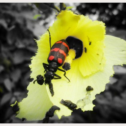 Blister beetle, Canon POWERSHOT A2200