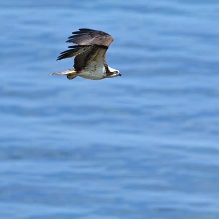Fish hawk, Nikon D500, AF-S VR Nikkor 500mm f/4G ED