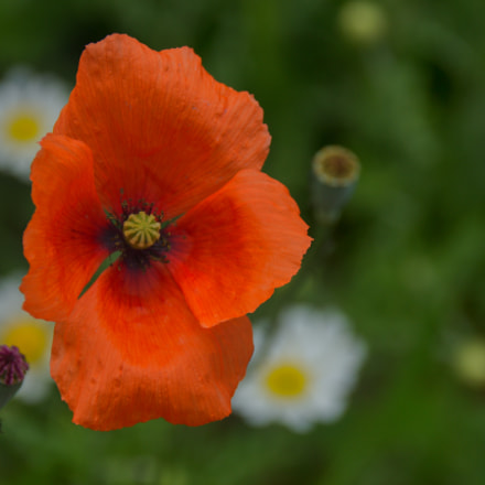 Poppy seed, Canon EOS 700D, Sigma 18-250mm f/3.5-6.3 DC OS HSM
