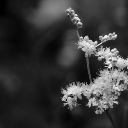 Flowers , black and white, Sony SLT-A65V, Tamron SP AF 90mm F2.8 Di Macro