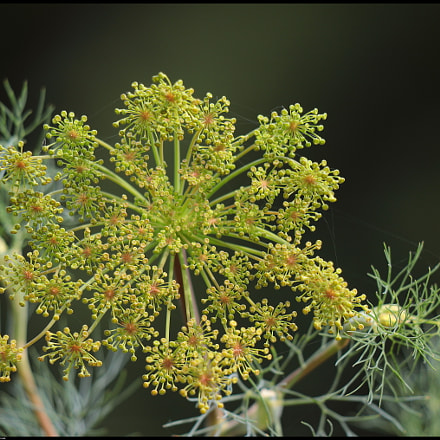 Dill (Anethum graveolens), Canon EOS 80D, Canon EF70-300mm f/4-5.6 IS II USM