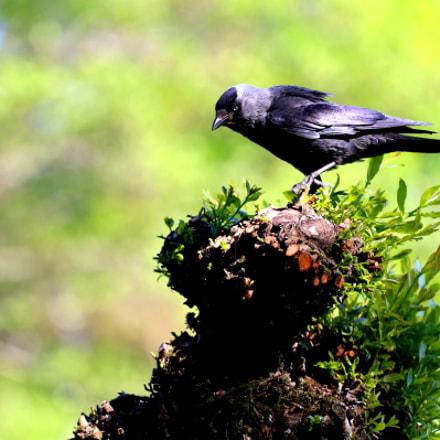 The hooded crow, Canon EOS 5D MARK III