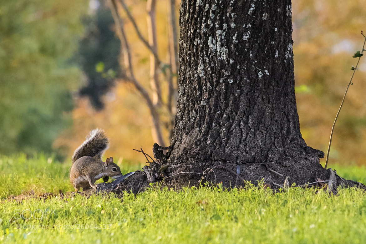Photograph Squirrel's Search by Anthony Colangelo on 500px