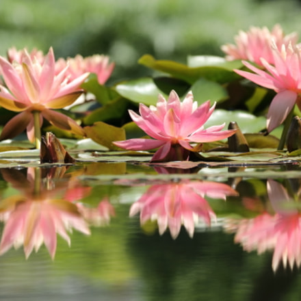 tropical water lily, Canon EOS 80D